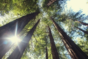 Drzewa produkują 26 mln ton tlenu rocznie